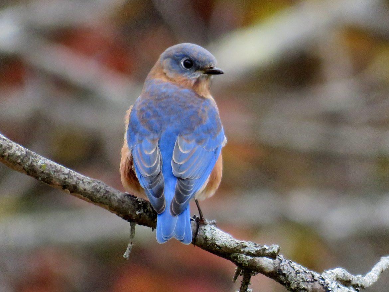 Backyard Birds of Maine