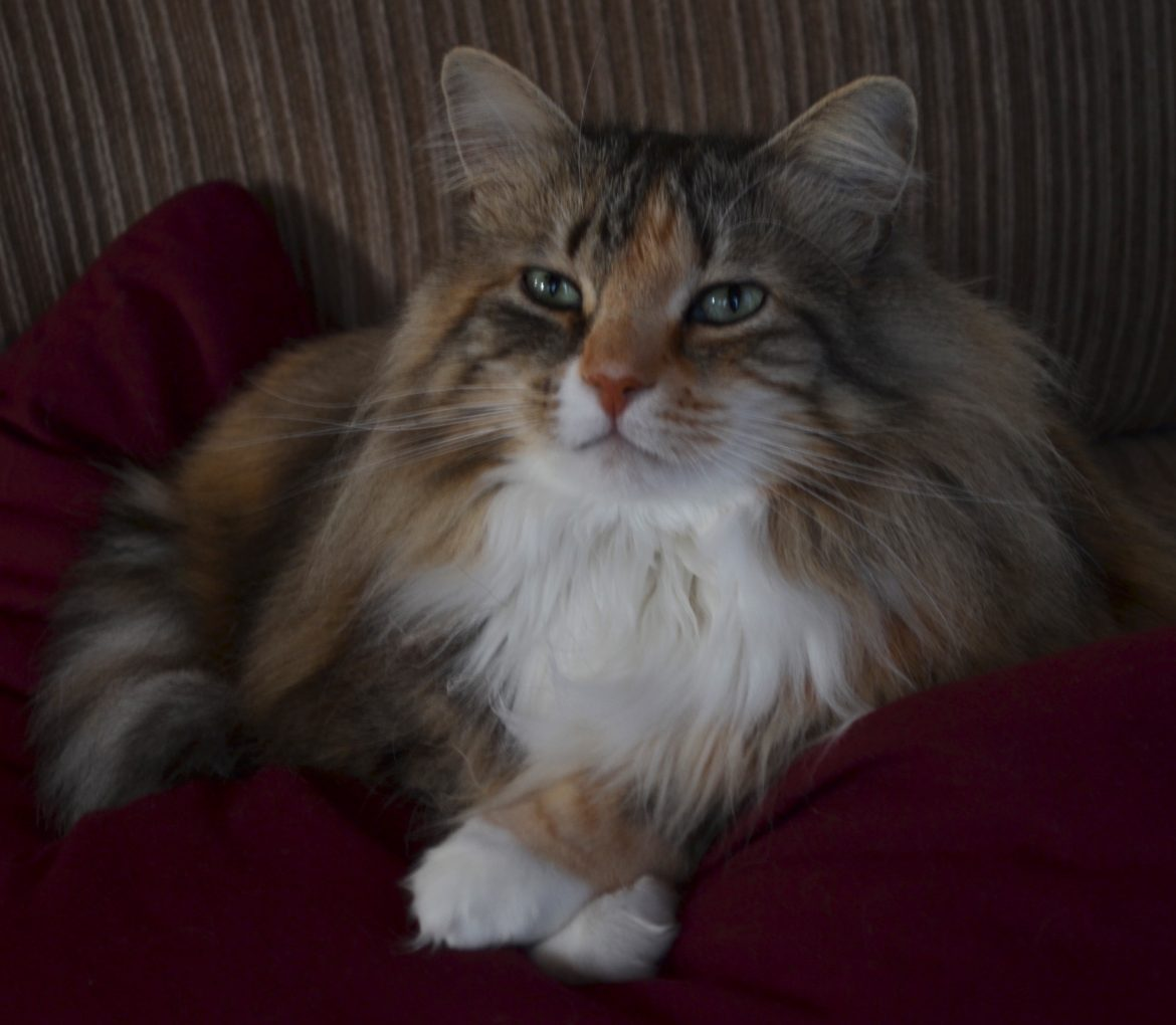 A Maine Coon Morning